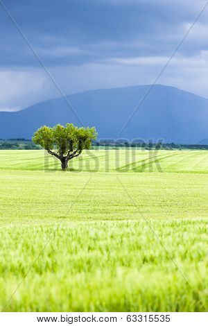 spring field with a tree, Plateau de Valensole, Provence, France