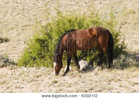 Mustang Mare