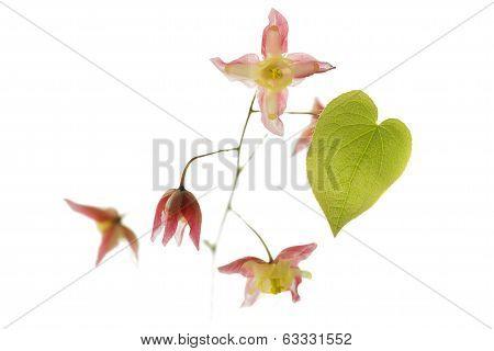 Barrenwort (Epimedium rubrum) flower on white background