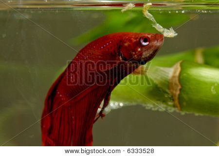 Betta Fish Feeding