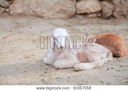 White Goatling