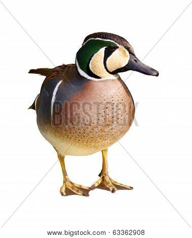 Baikal Teal - Anas Formosa - Isolated