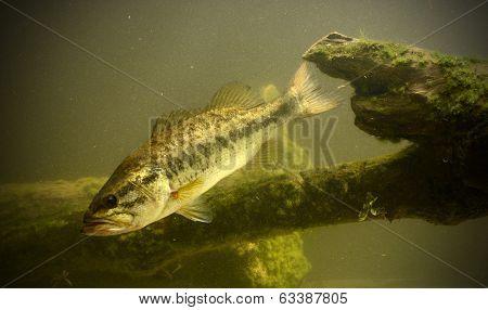 Underwater Bass Fish
