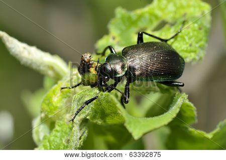 Calosoma Inquisitor Eat