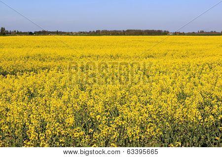 Field Of Colza