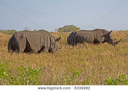 Two rhinoceros moving through the grass in South Africa poster