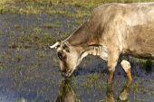 Cow grazing at lake Kerkini in Greece poster