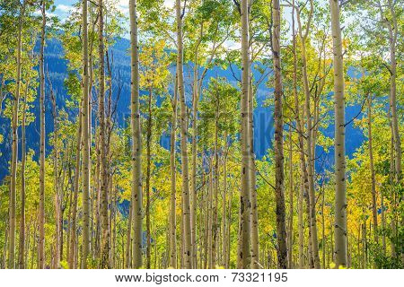 Green Yellow Aspen Trees