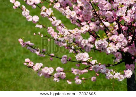 Prunus Triloba - Flowering Almond