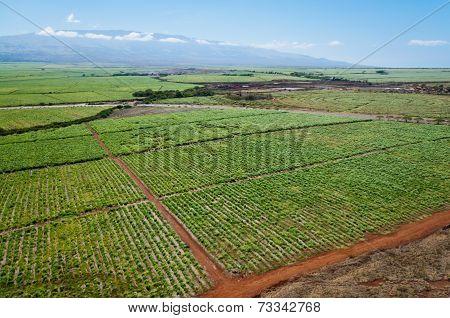 Maui Sugar Cane