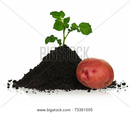 Potato In Soil
