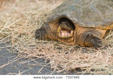 Open Mouthed Snapper