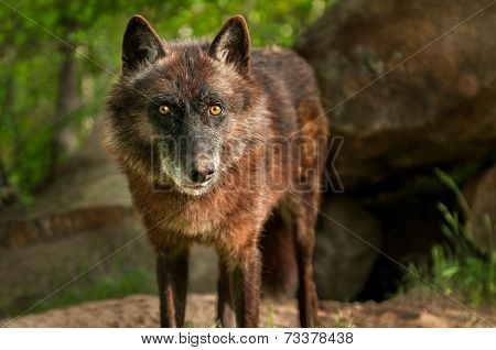 Black Wolf (Canis lupus) Stares Out - captive animal poster