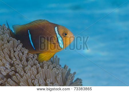 Orange-Finned Anemonefish in Anemone in Bora Bora, French Polynesia