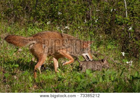 Pup And Adult Coyote (canis Latrans) On The Prowl