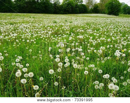 grassfield full of dandelions with small trees and bushes in the background