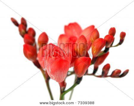 Red freesias