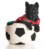 sports hound - scottish terrier puppy wearing sports jersey sitting inside soccer ball poster