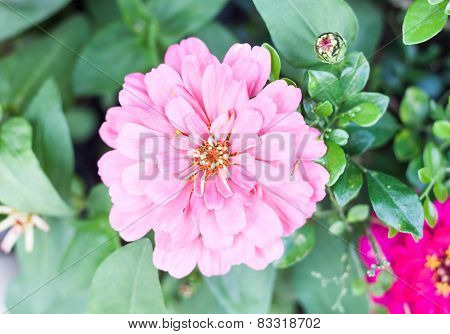 Blossom Beautiful Pink Flower In Garden