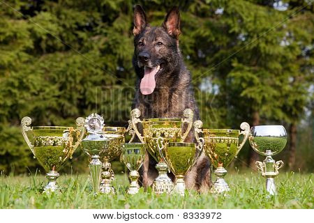 german sheepdog with cups sitting on the grass poster