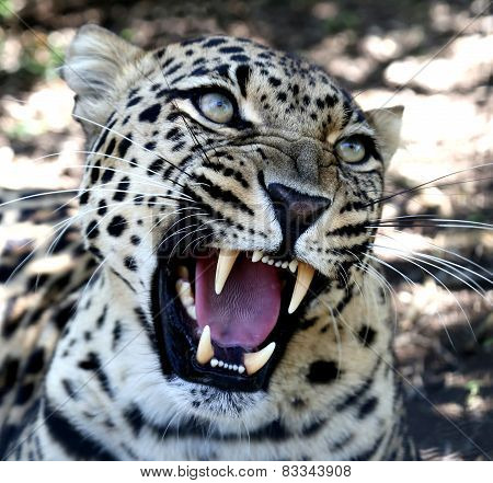 Snarling Leopard With Huge Teeth