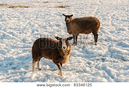 Two Brown Sheep In Winter Coat Standing In The Snow