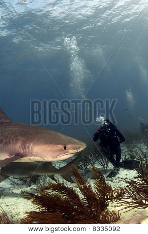 Diver And Tiger Shark