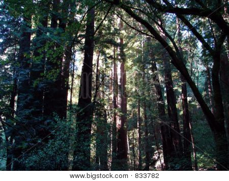California Red Woods