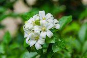 Cosmetic Bark Tree Satin-wood White flowers called Orange Jessamine poster
