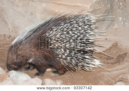The Cape porcupine or South African porcupine Hystrix africaeaustralis is native to central and southern Africa. poster