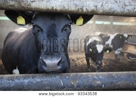 Young Black Cow In Stable With Other Cows In The Background