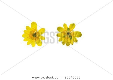 Pressed And Dried Bright Yellow Flower Adonis. Isolated On White Background.