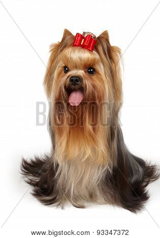 Show Class Dog With Bow