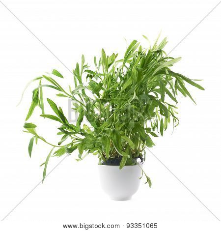 Tarragon Artemisia dracunculus perennial aromatic culinary herb in a small ceramic pot, isolated over the white background poster