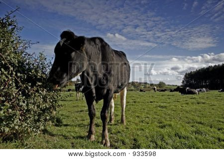 dairy cows in a meadow wirral england. poster
