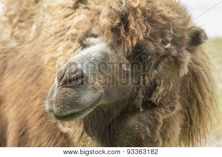 Camel Molts