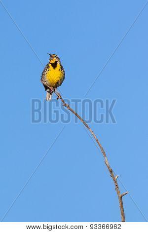 Western Meadowlark on branch
