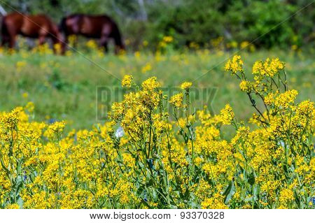 A Beautiful Field of Bright Yellow Texas Wildflowers with Horses Grazing.  Cut Leaf Groundsel (Packera tampicana) poster