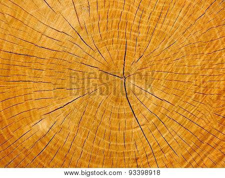 An oak's cross-section