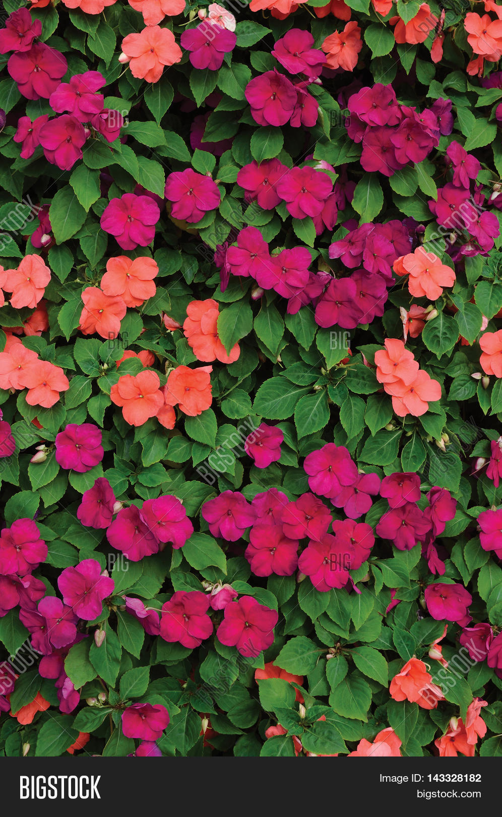 Impatiens Walleriana Image Photo Free Trial Bigstock