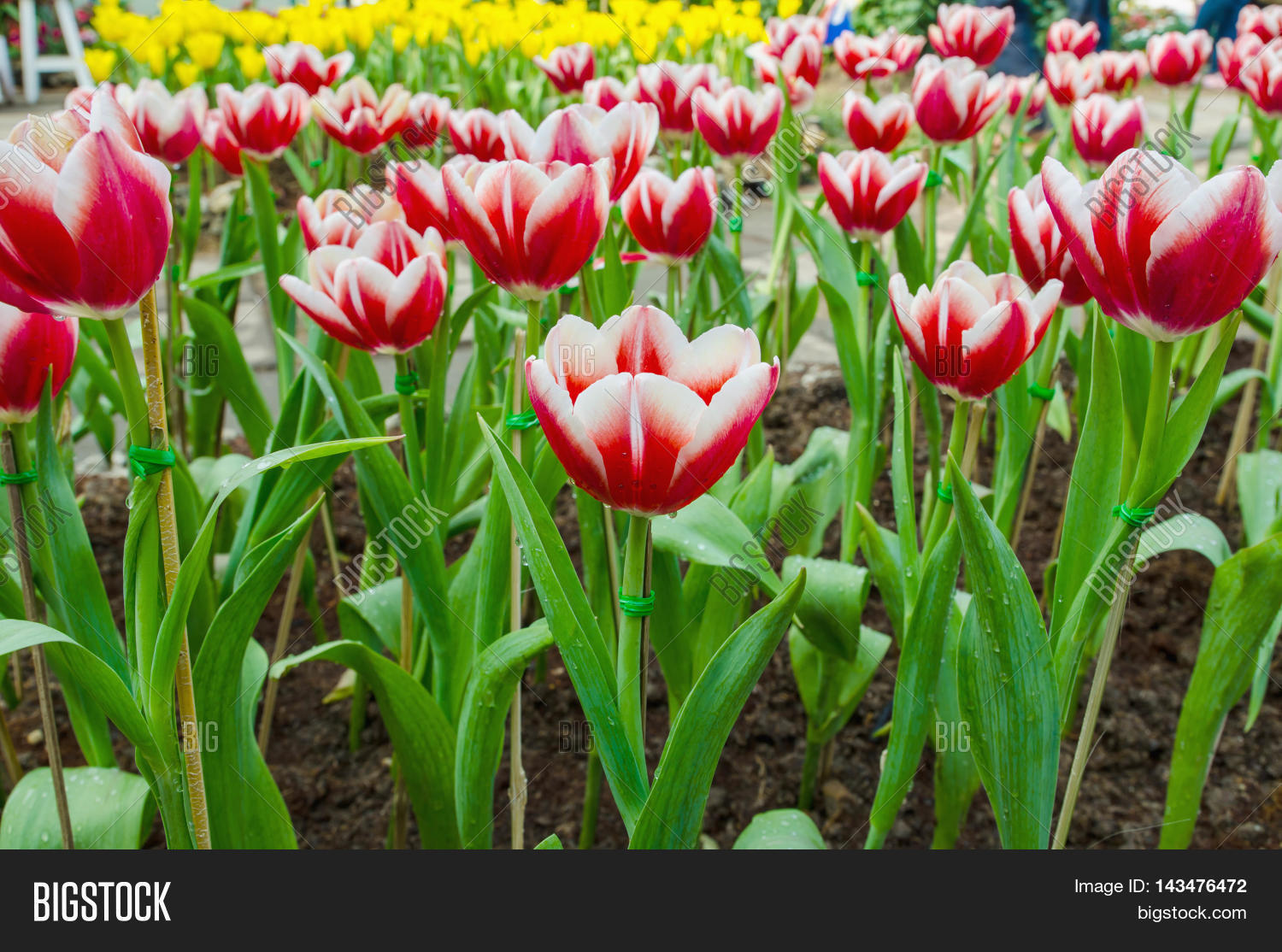 beautiful red tulips flower background in the garden