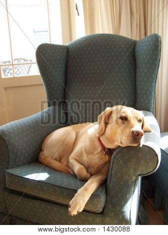 Labrador On Chair Thinking 2