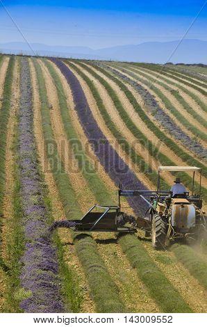 Lavender harvest in Provence south of France. in Provence south of France.