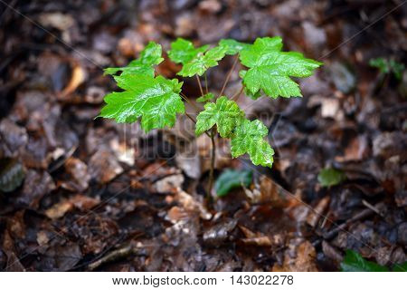 Wet sycamore tree sapling on forest floor