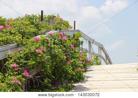 A beach boardwalk with beach roses leading to Ogunquit beach in Maine.