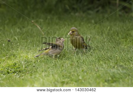 Greenfinch Juvenile, Being Fed On The Grass