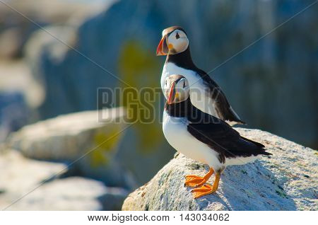 A couple of Atlantic puffins standing on a rock side by side