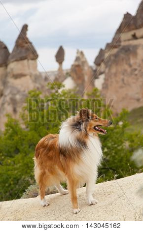 Collie dog staring aside infront of cappadocia pillars