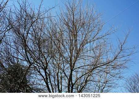 Branches of a dormant mulberry tree (Morus alba) against a clear blue sky during March in Joliet, Illinois.