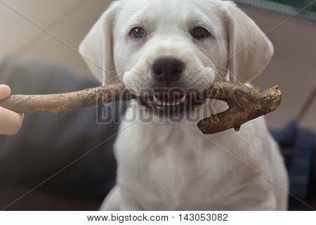 Sweet cute labrador dog puppy lying on the floor and chewing on a branch stick
